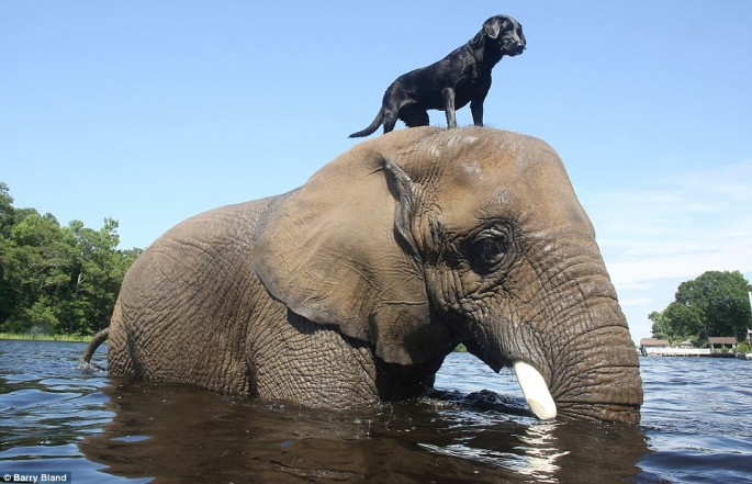 Elephant-and-Black-Lab-01-685x441