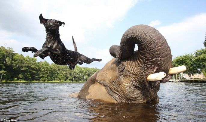 Elephant-and-Black-Lab-04-685x405